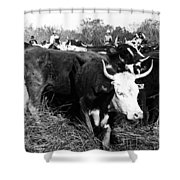 Cattle: Longhorns Shower Curtain