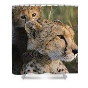 Cheetah Acinonyx Jubatus And Cub Shower Curtain
