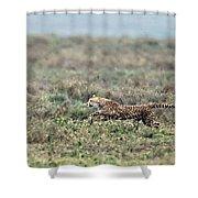 Cheetah Acinonyx Jubatus Hunting Shower Curtain