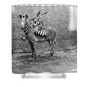 Comic Criminal Riding A Zebra Shower Curtain