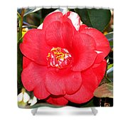 Coral Camellia At Pilgrim Place In Claremont-california  Shower Curtain