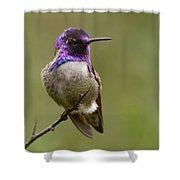 Costa's Hummingbird, Solano County California Shower Curtain