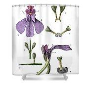 Darwins Orchis Pyramidalis, Illustration Shower Curtain