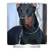 Doberman Pinscher  Shower Curtain