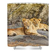 Female Lion And Cub Hdr Shower Curtain