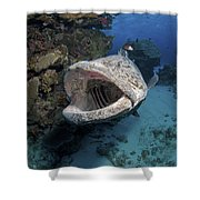 Giant Grouper, Great Barrier Reef Shower Curtain