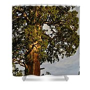 Giant Sequoia Shower Curtain