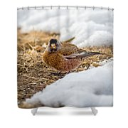 Gray Capped Rosy Finch In The Snow Shower Curtain