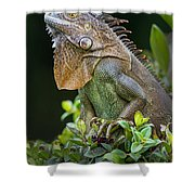 Green Iguana Iguana Iguana, Sarapiqui Shower Curtain