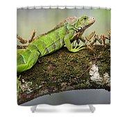 Green Iguana Iguana Iguana, Tarcoles Shower Curtain