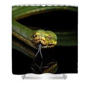 Green Tree Python. Morelia Viridis. Isolated Black Background Shower Curtain by Sergey Taran