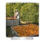 Harvesting Navel Oranges Shower Curtain