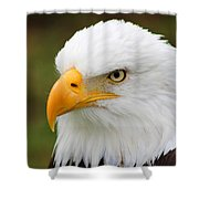 Head Of An American Bald Eagle Shower Curtain