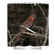Hepatic Tanager At The Coba Ruins Shower Curtain