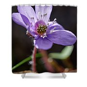 Hepatica 4 Shower Curtain
