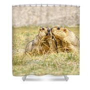 Himalayan Marmots Pair Kissing In Open Grassland Ladakh India Shower Curtain