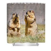 Himalayan Marmots Pair Standing In Open Grassland Ladakh India Shower Curtain