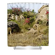 Hunting Lionesses Shower Curtain