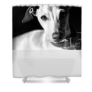 Italian Greyhound Portrait In Black And White Shower Curtain