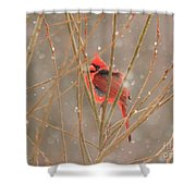 Male Northern Cardinal In Winter Shower Curtain