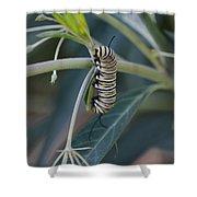 Monarch Catterpillar  Shower Curtain