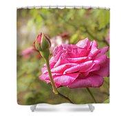 Moondrops 85 Hybrid Tea Rose, Pink Rose Originally Produced By  Shower Curtain