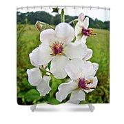 Moth Mullein Wildflowers - Verbascum Blattaria Shower Curtain