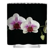 Moth Orchid 3 Shower Curtain