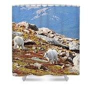 Mountain Goats On Mount Bierstadt In The Arapahoe National Forest Shower Curtain