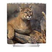 Mountain Lion Felis Concolor Shower Curtain