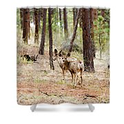 Mule Deer In The Pike National Forest Shower Curtain