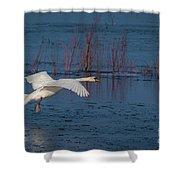 Mute Swan In Flight Shower Curtain