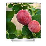 Natal Plums On Branch Shower Curtain