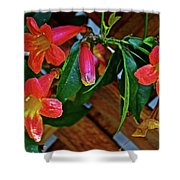 Orange Trumpet Vine At Pilgrim Place In Claremont-california   Shower Curtain
