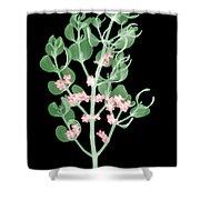 Pacific Mistletoe, Phoradendron Shower Curtain