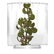 Pacific Mistletoe Shower Curtain