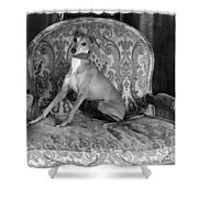 Portrait Of An Italian Greyhound In Black And White Shower Curtain