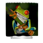 Red-eyed Green Tree Frog Hanging On Shower Curtain