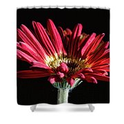 Red Gerbera 1 Shower Curtain