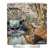 Red-tailed Hawk -5 Shower Curtain