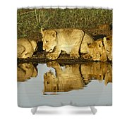 Reflected Lions Shower Curtain
