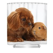 Ruby Cavalier King Charles Spaniel Pup Shower Curtain by Mark Taylor