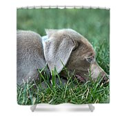 Silver Labrador Retriever Puppy  Shower Curtain