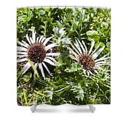 Stemless Carline Thistle Carlina Acaulis Shower Curtain
