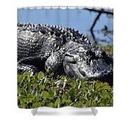 Sunning Gator Shower Curtain