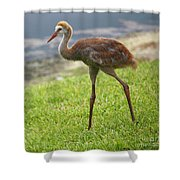 Sweet Juvenile Sandhill Crane Shower Curtain