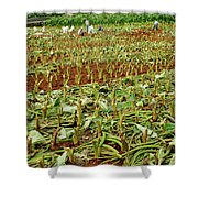 Taro Field Shower Curtain