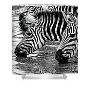Thirsty Zebras Shower Curtain