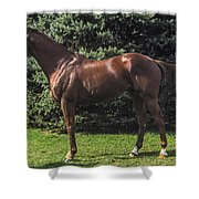 Thoroughbred Stallion Shower Curtain
