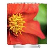 Tithonia Rotundifolia, Red Flower Shower Curtain
